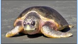 Matt Nash – Sea Turtle Show